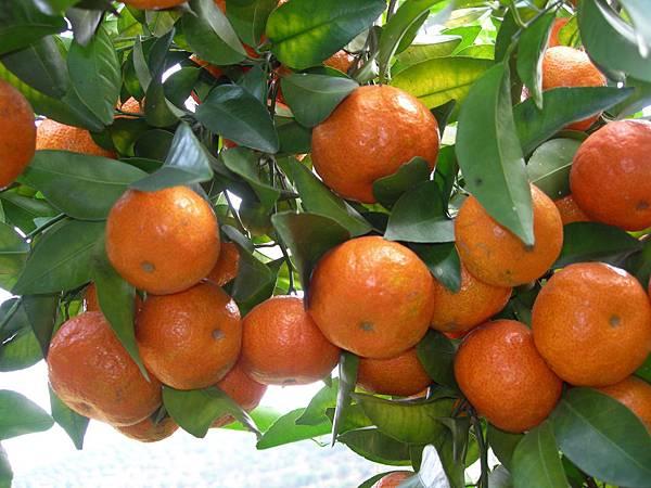 砂糖橘01