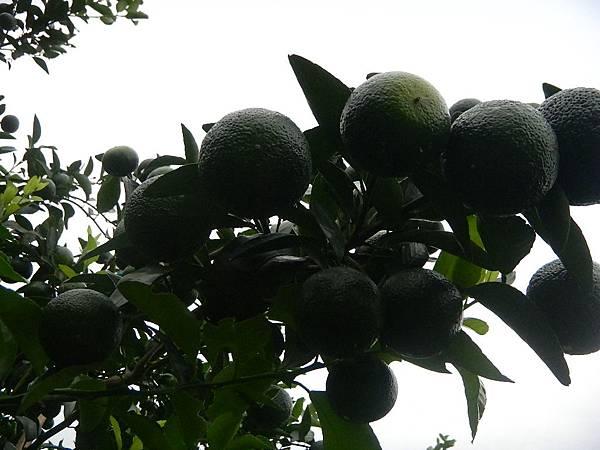 台灣品種砂糖橘
