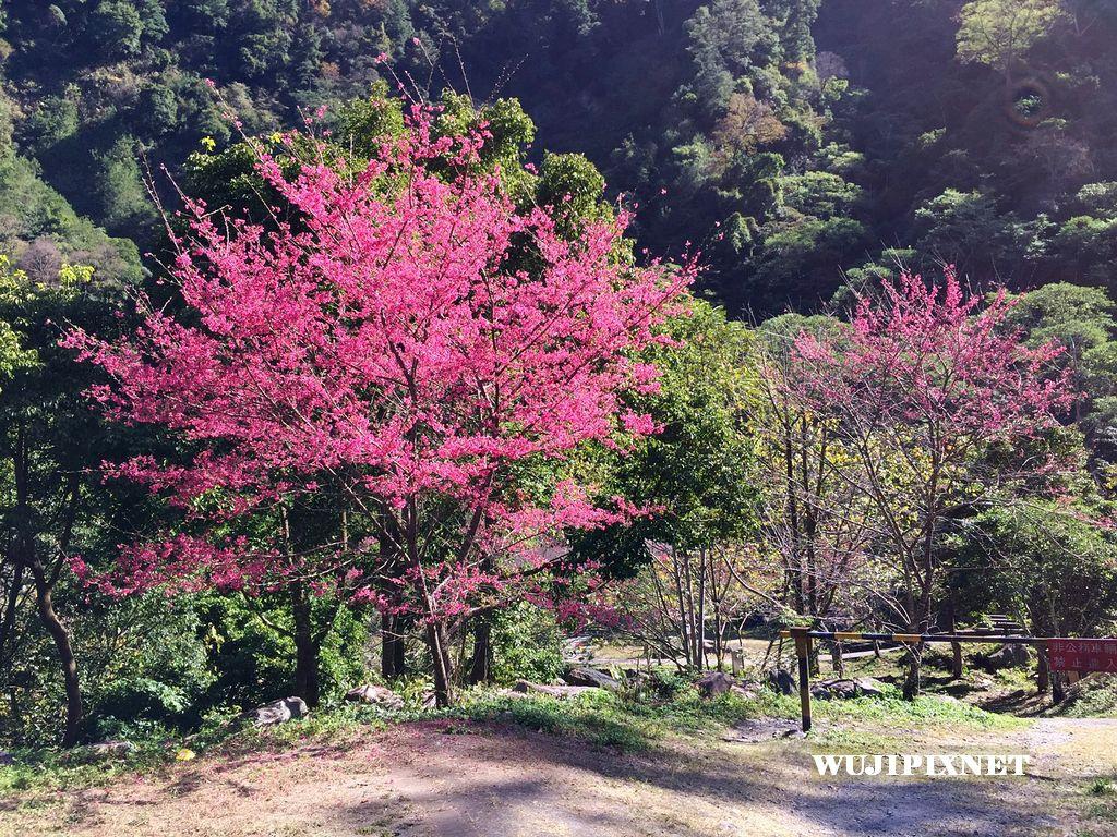 八仙山櫻花