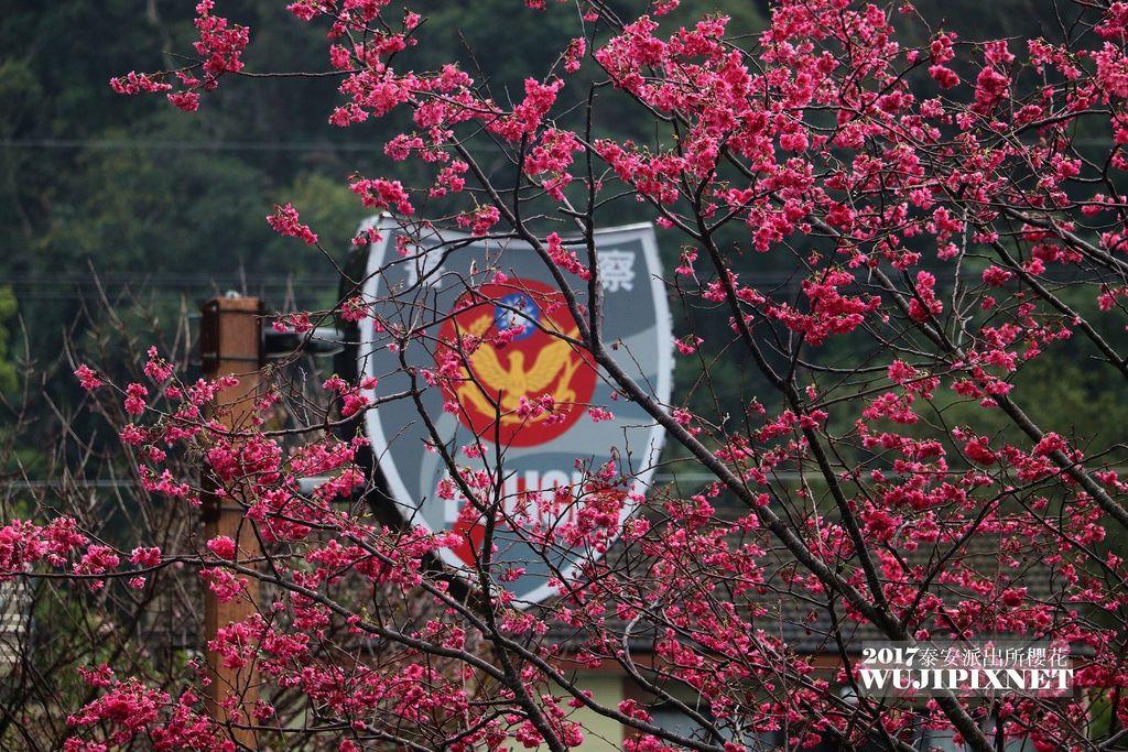 2017年泰安派出所的八重櫻