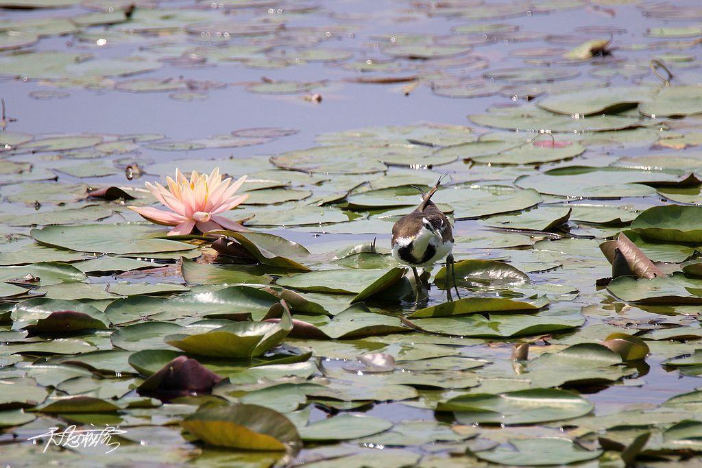春季換羽的水雉