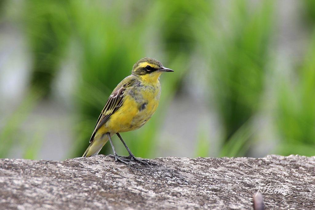 東方黃鶺鴒亞種鳥