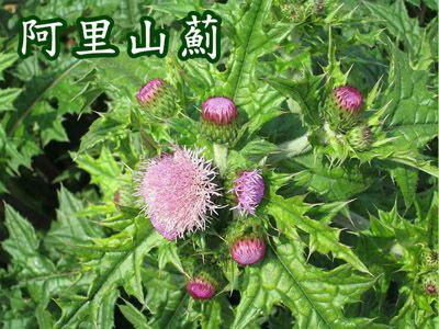 阿里山薊蘋果日報