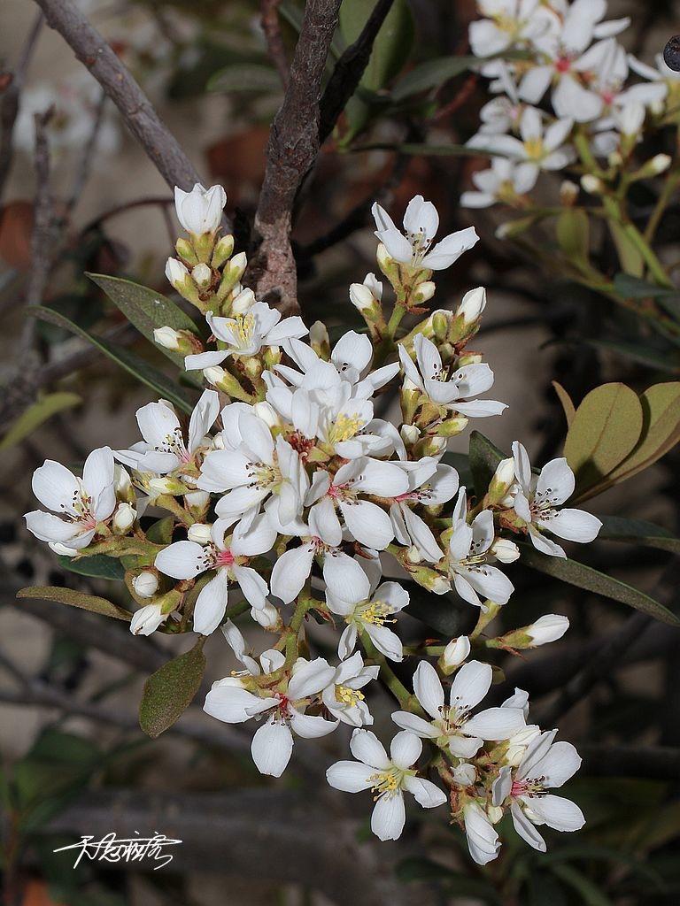 厚葉石斑木花