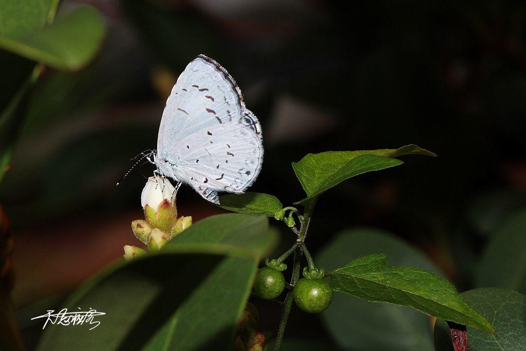 白斑琉璃小灰蝶