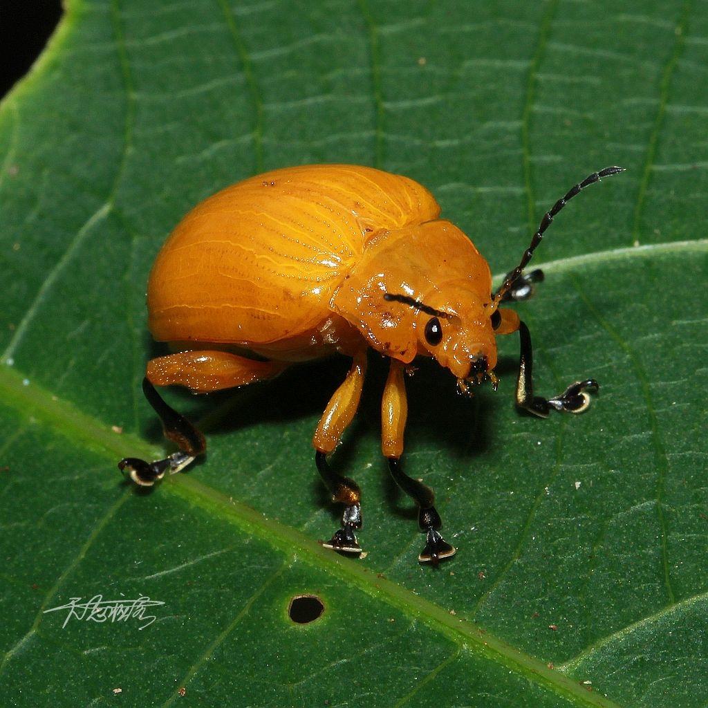 大黃金花蟲