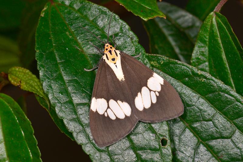 五斑蝶燈蛾