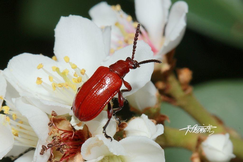長頸金花蟲