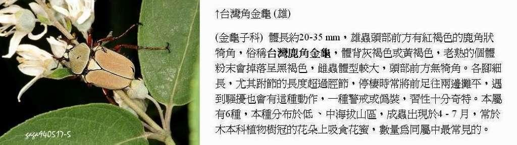 台灣角金龜