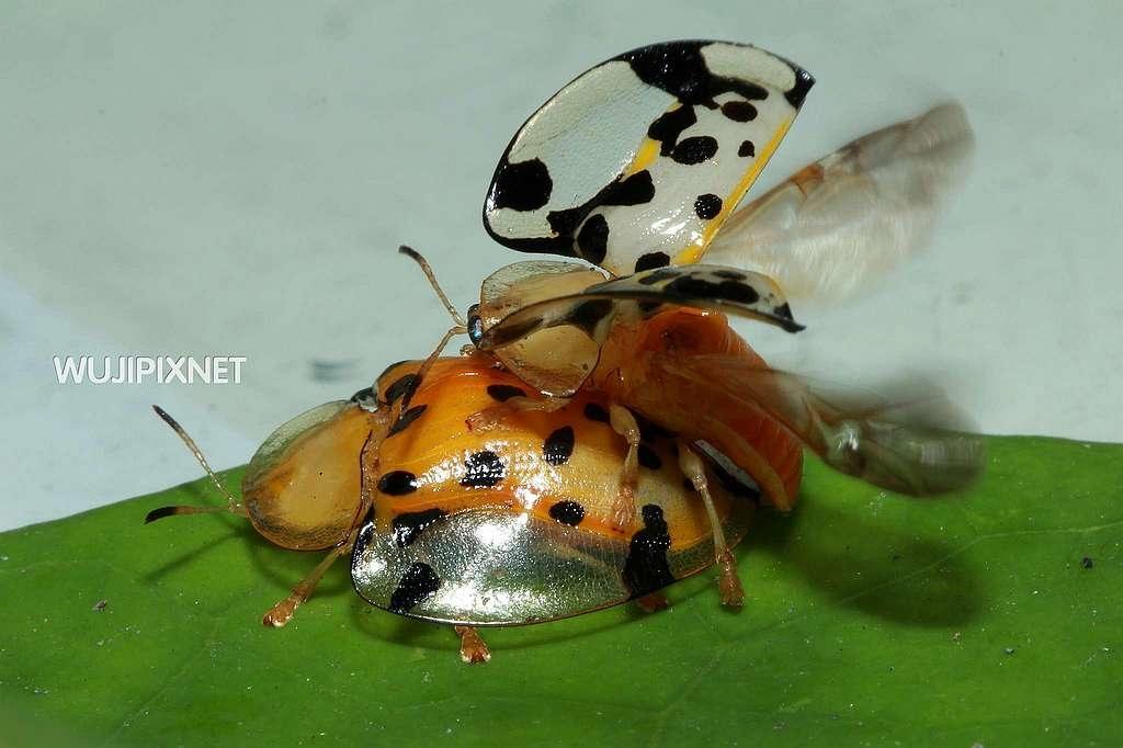 交配中的大黑星龜金花蟲