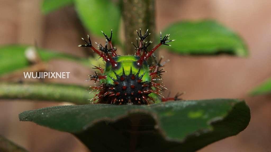 台灣單帶蛺蝶終齡幼蟲