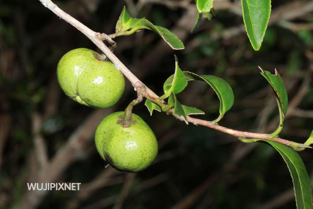 茶仔園的果實