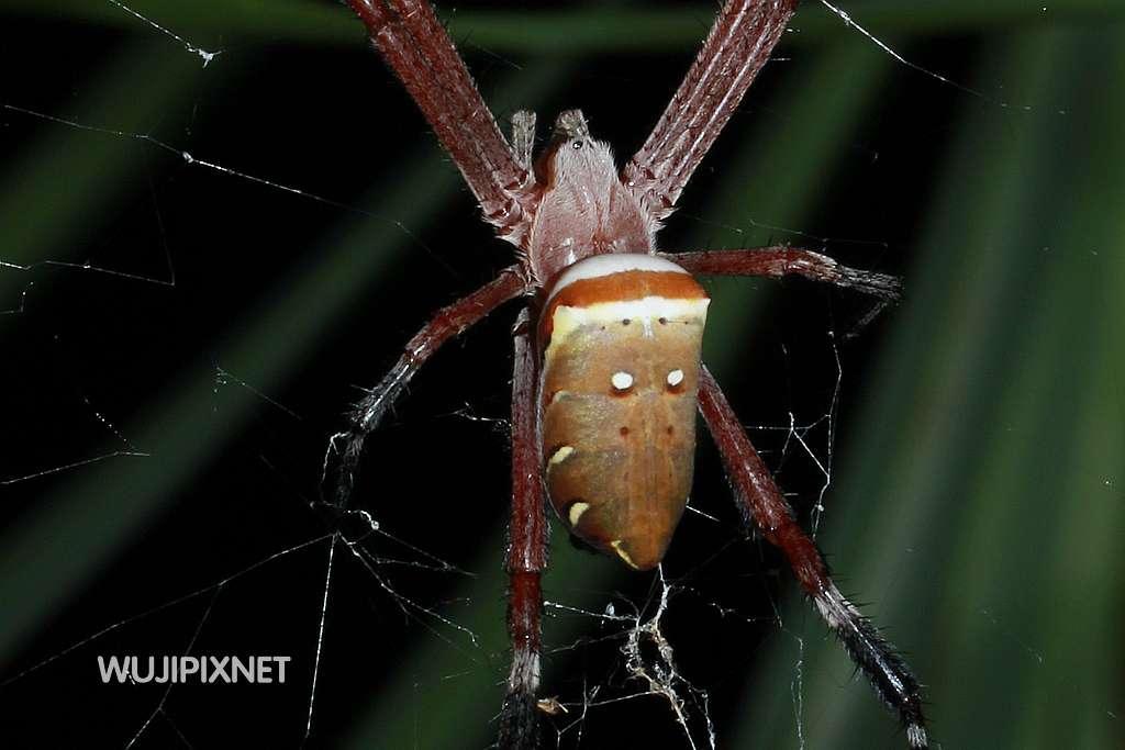 掀開白色蜘蛛的神秘面紗