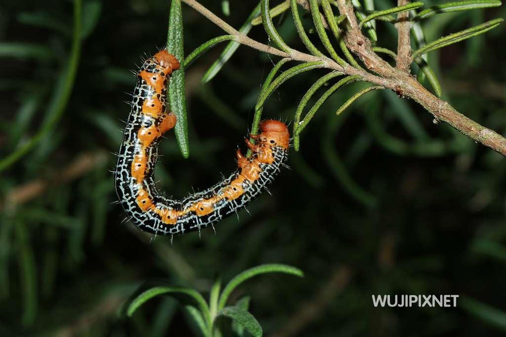 黃帶枝尺蛾幼蟲