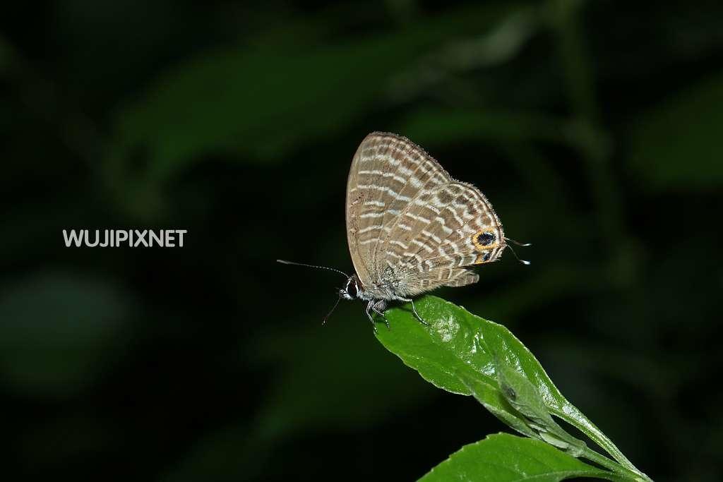 熱帶波紋小灰蝶