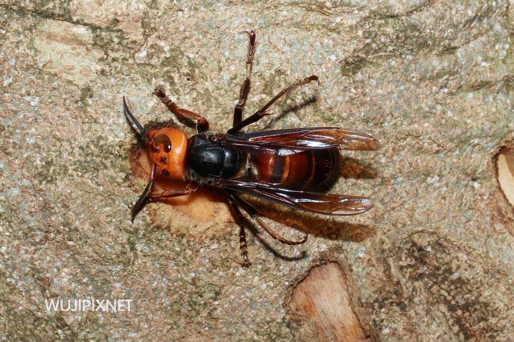 體長近5公分的中國大虎頭蜂