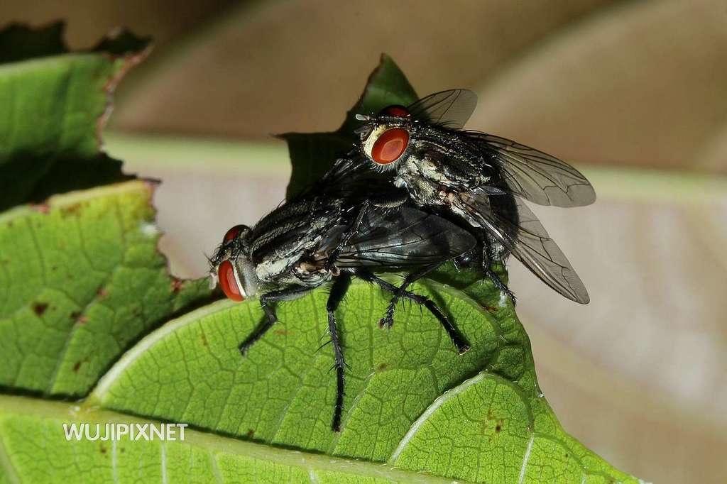交配中的肉蠅