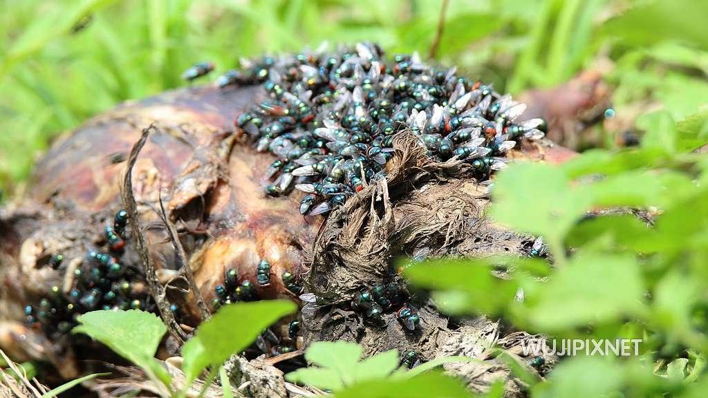 麗蠅正在分解動物死屍