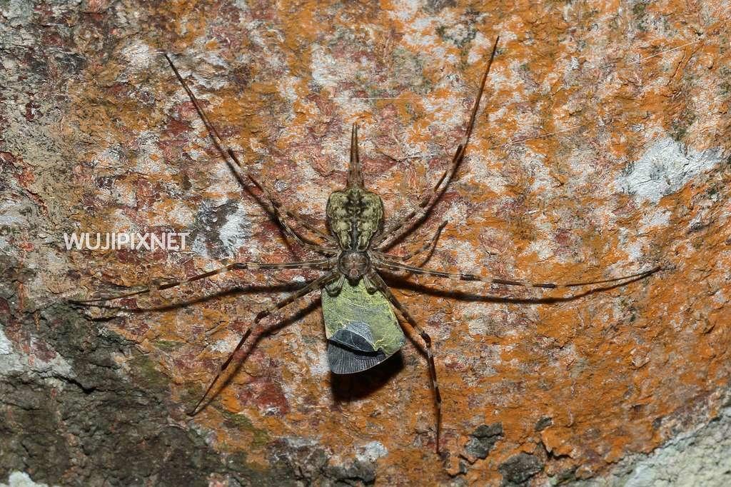 亞洲長疣蛛