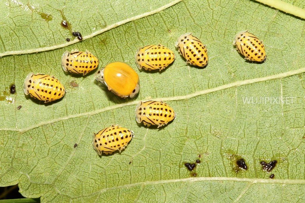 黃瓢蟲和牠的幼蟲