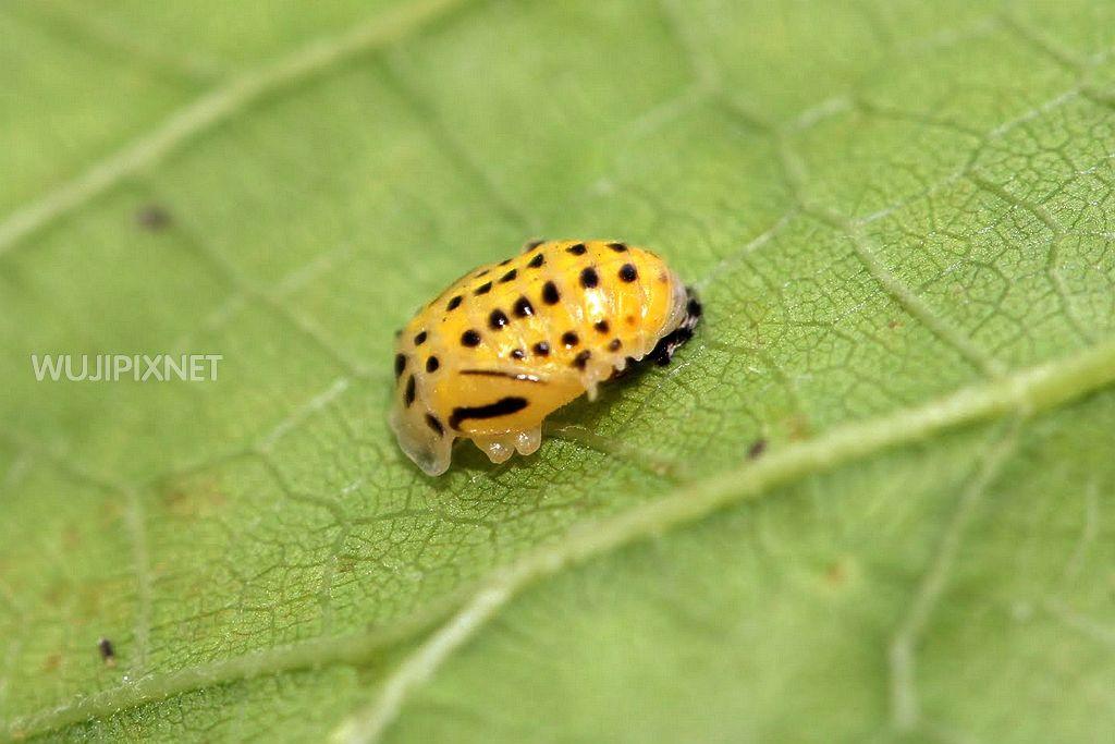 黃瓢蟲的幼蟲