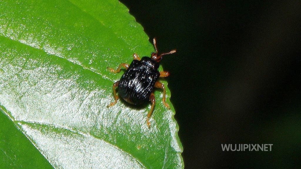 黑點捲葉象鼻蟲