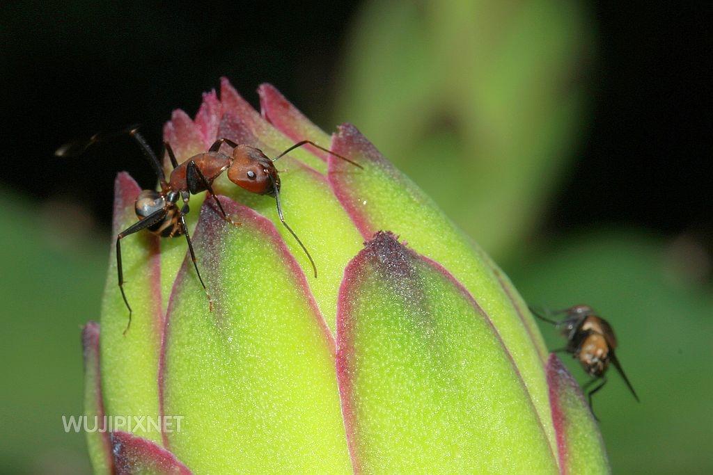 臭巨山蟻與蒼蠅