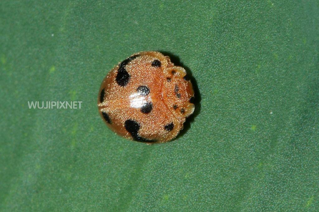大黑星龜金花蟲的幼蟲
