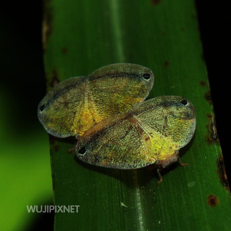 廣翅蠟蟬的若蟲