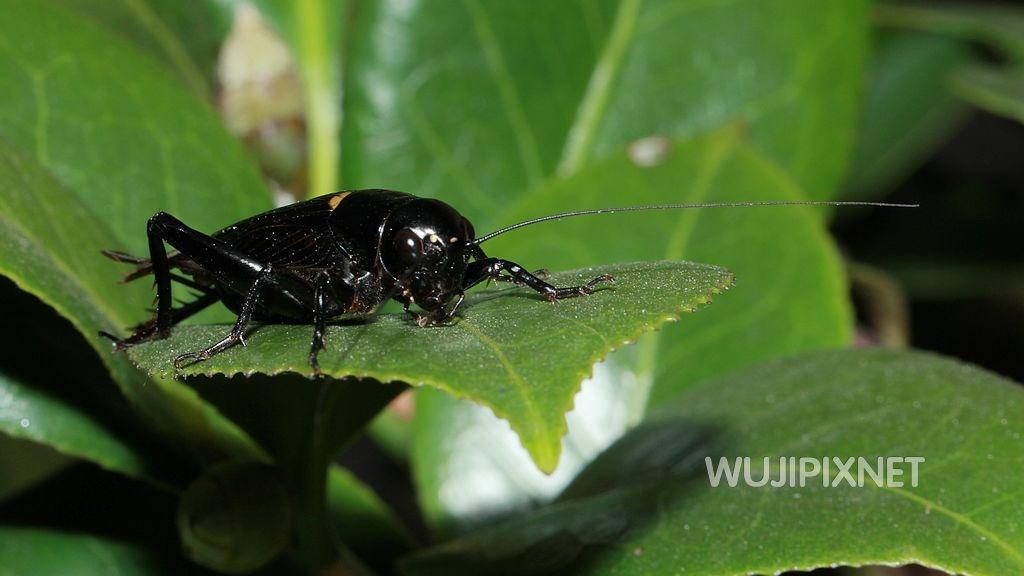 黃斑黑蟋蟀