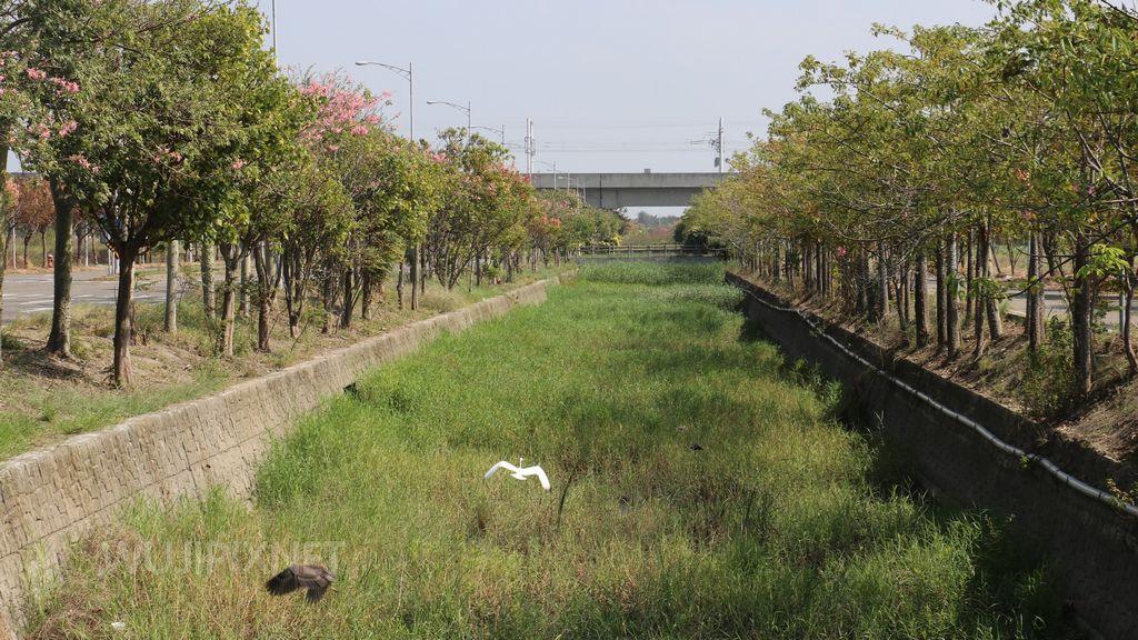 20171108實地拍攝的虎尾建成路美人樹