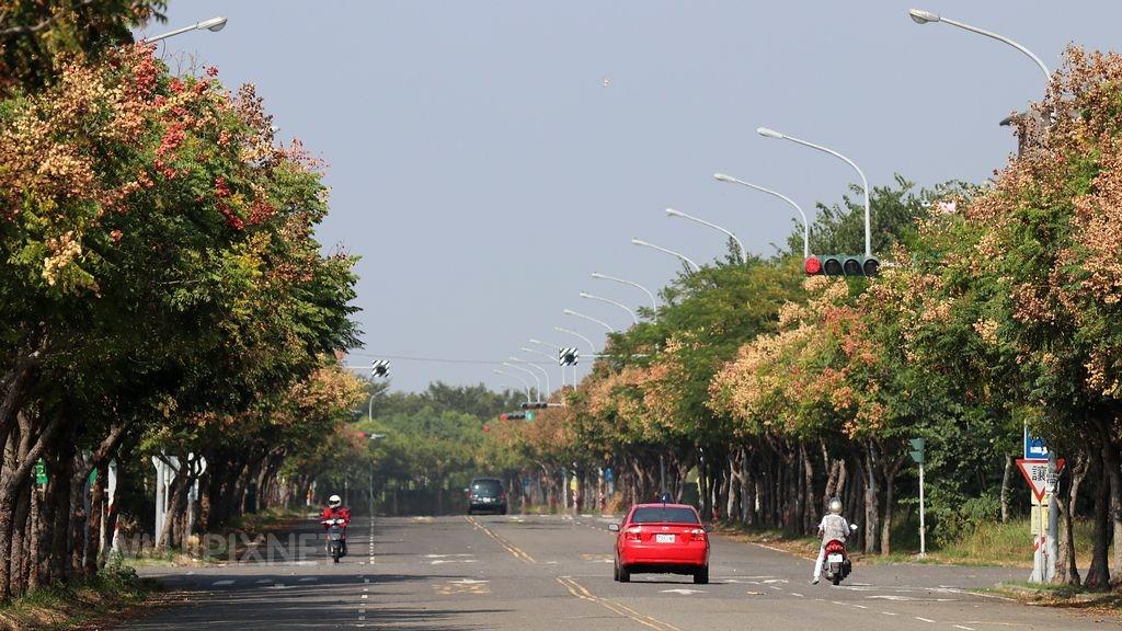 虎尾建成路的台灣欒樹