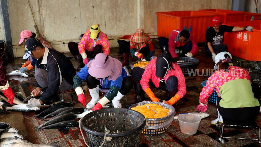雲林縣口湖鄉殺魚取卵的掏金季節