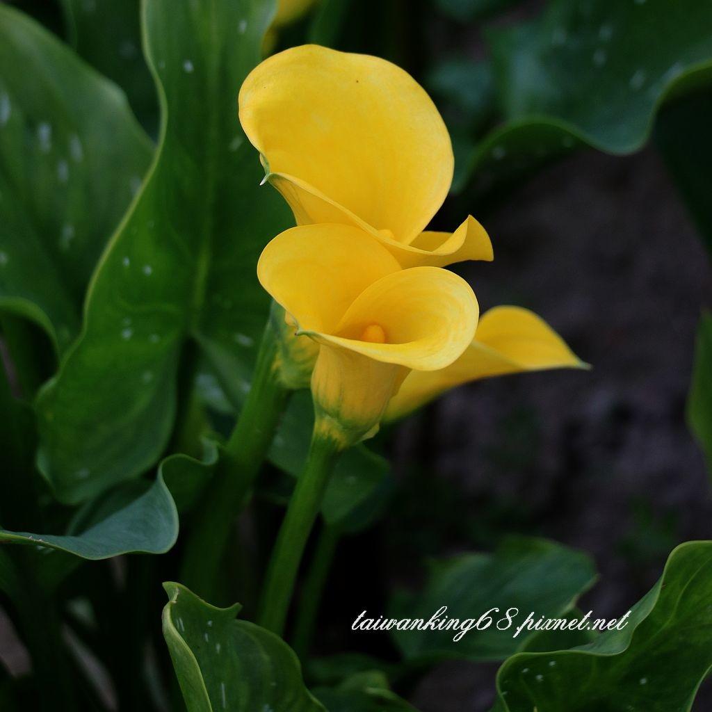 黃色海芋花
