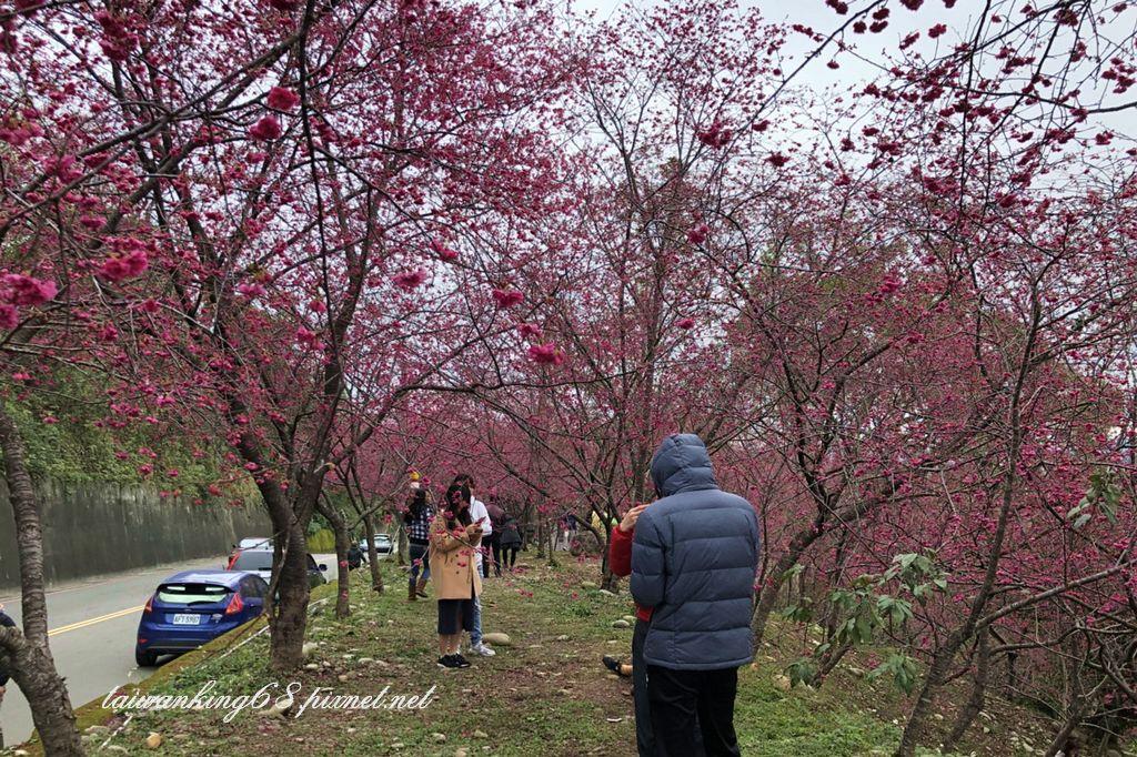 新社區中和街三段的八重櫻花況乎恁知