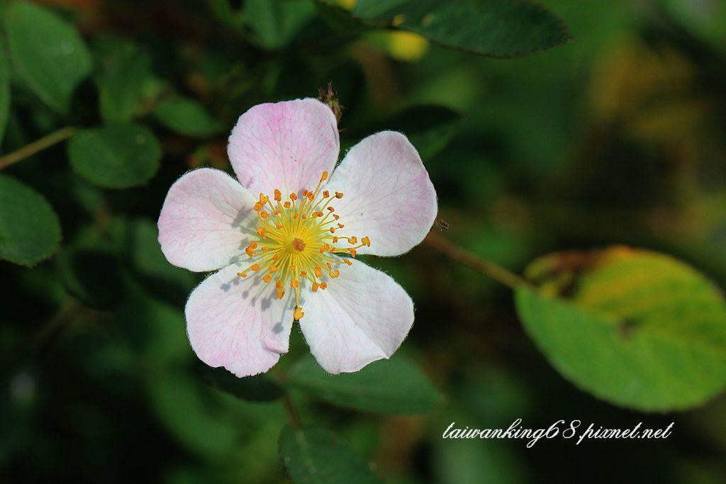 雅聞香草植物園薔薇花