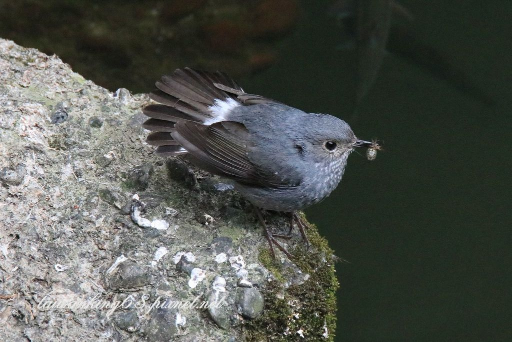 鉛色水鶇 (雌)