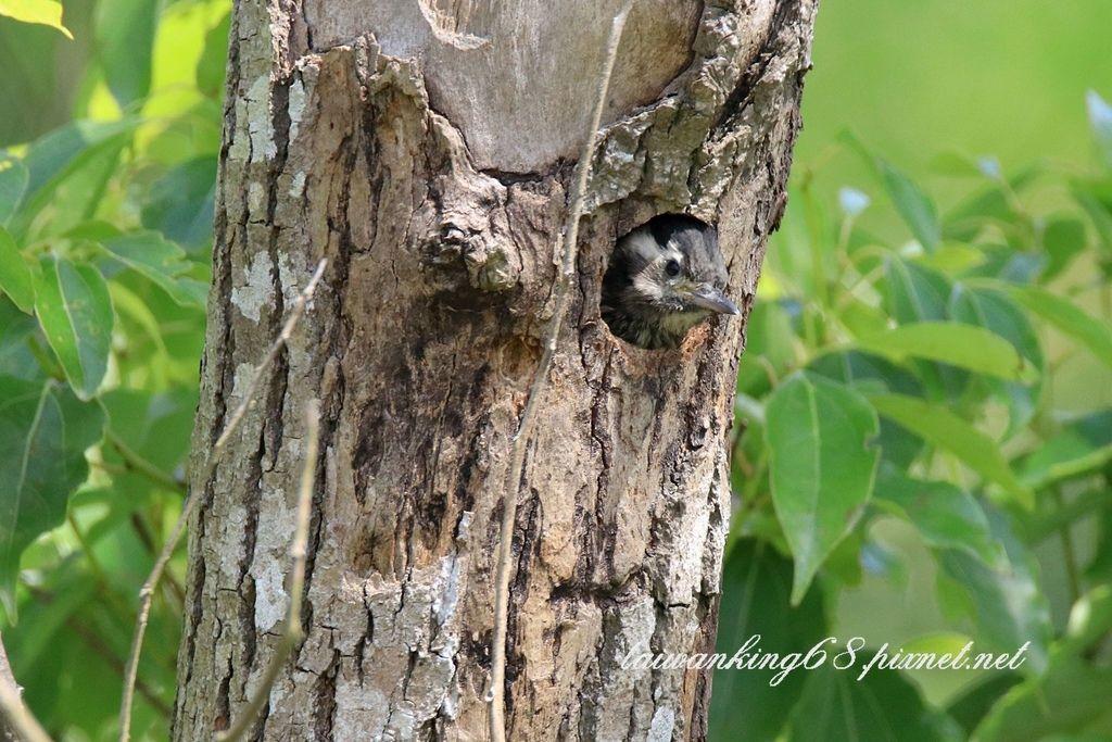 小啄木育雛