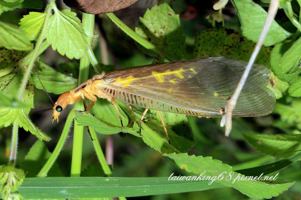 黃紋魚蛉/花邊星齒蛉