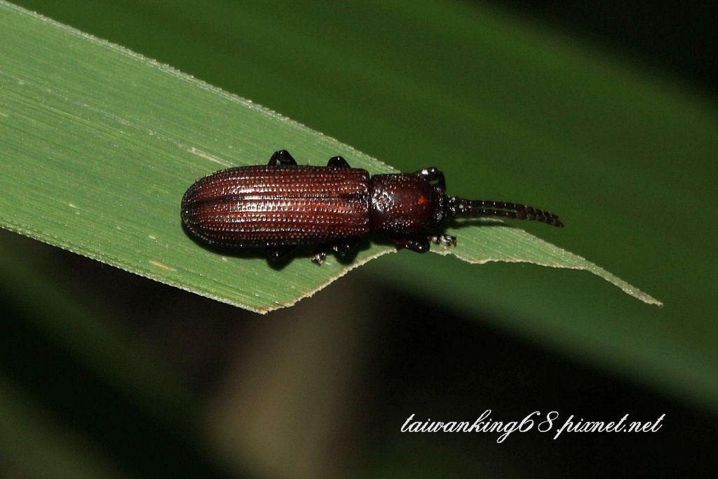 山棕扁鐵甲蟲