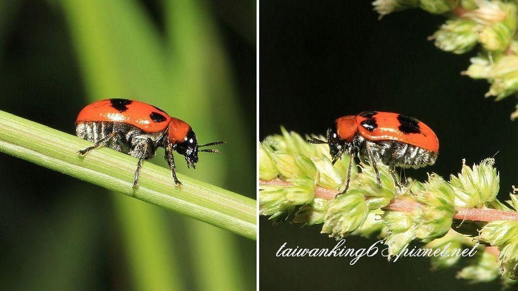 黑斑紅長筒金花蟲