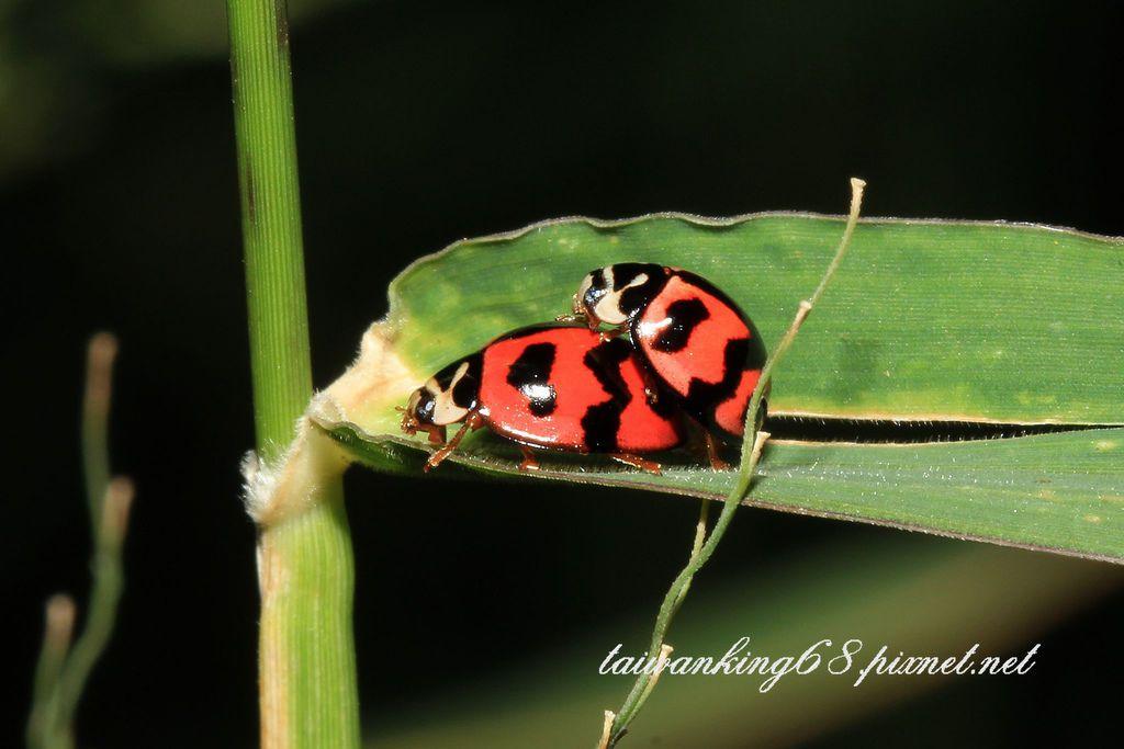 做愛的瓢蟲
