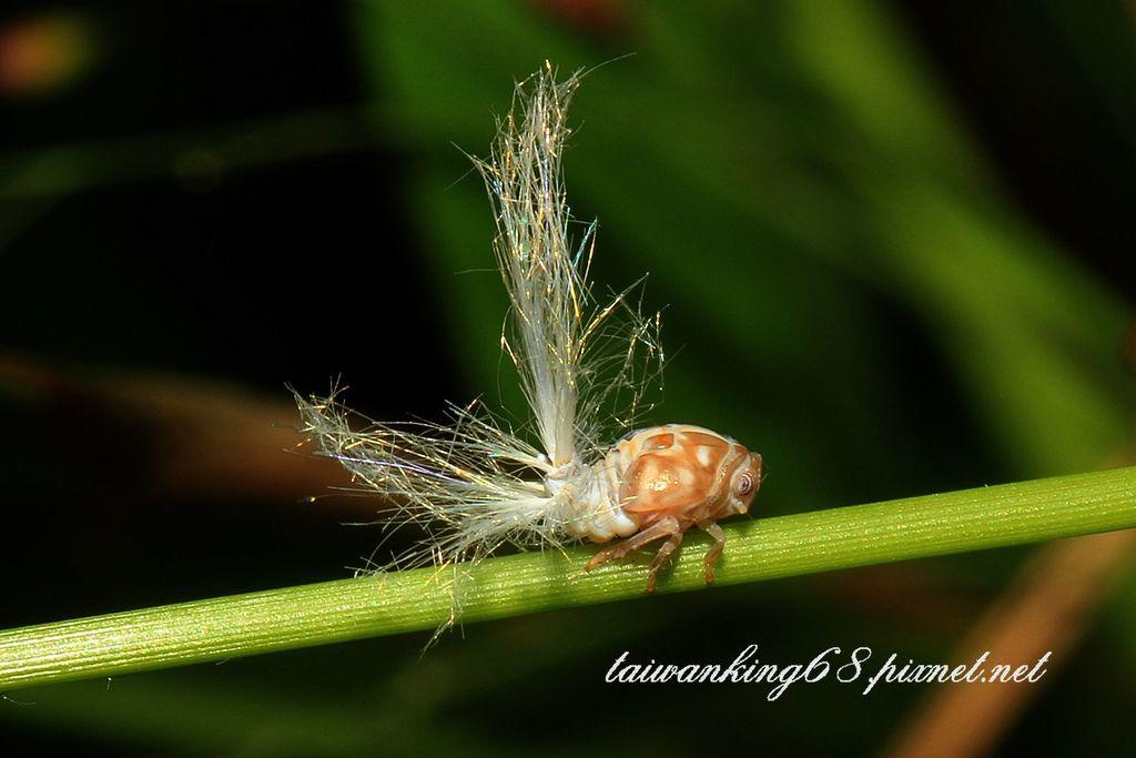 條紋廣翅蠟蟬的若蟲