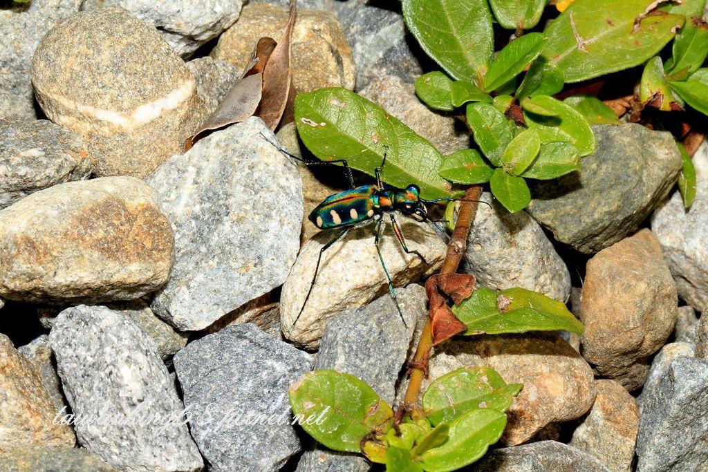 八星虎甲蟲