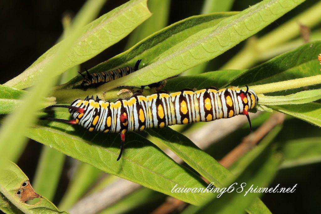 樺斑蝶的幼蟲