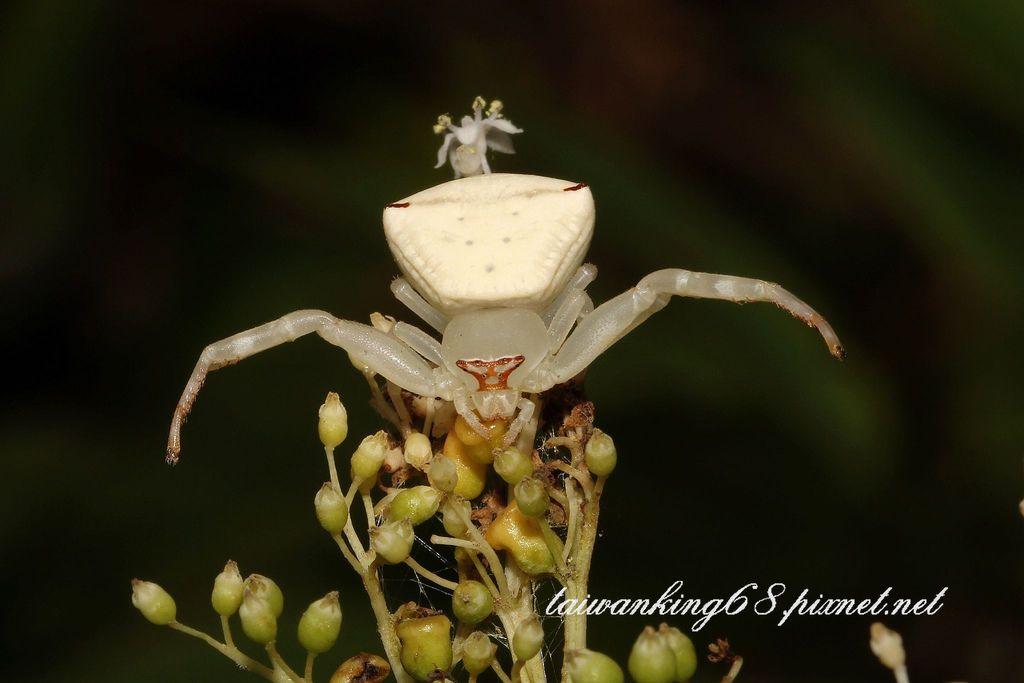 三角蟹蛛白色蜘蛛