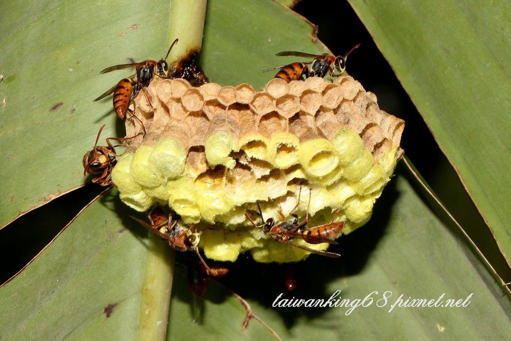 雙斑長腳蜂