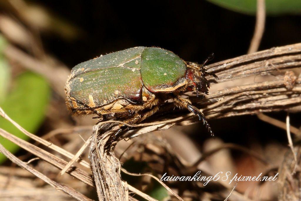 艷邊花金龜