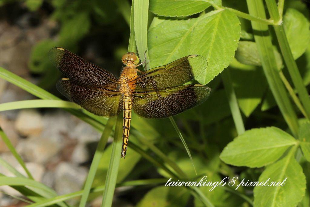 紫紅蜻蜓(雌)