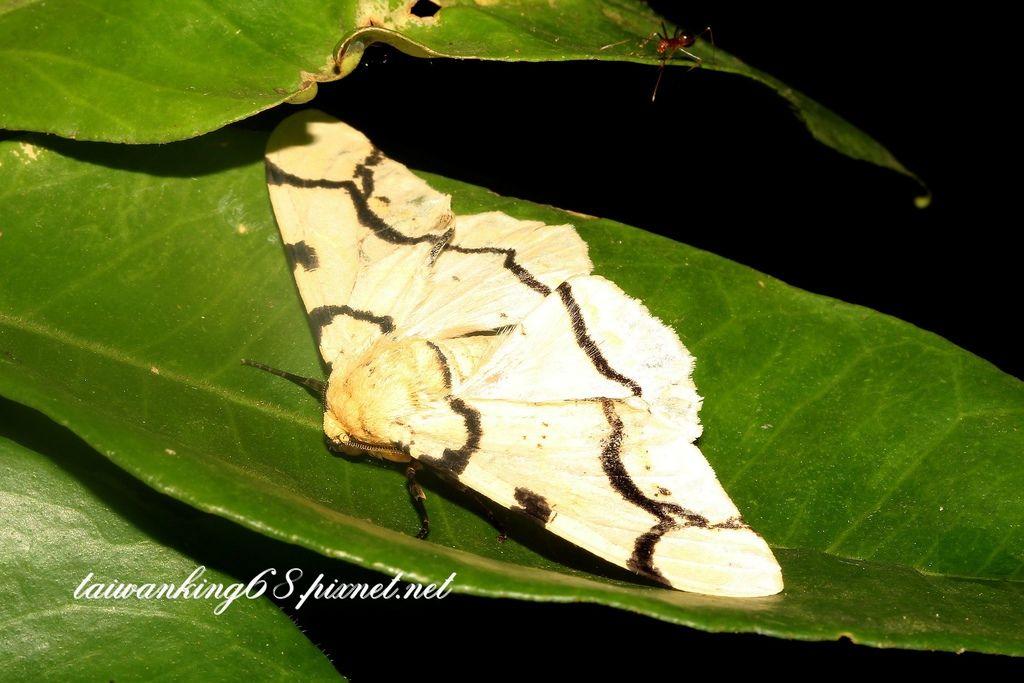 黑線黃尺蛾
